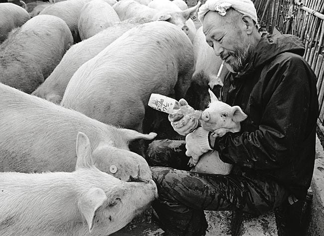 sweet-relationship-between-a-farmer-and-his-pigs_04